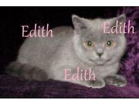 British Shorthair Kitten, British Blue