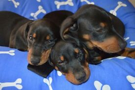 Dachshund puupy for sale