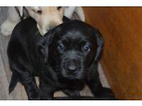 IKC Reg Labrador Pups