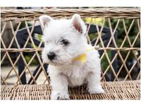 2 West Highland Terrier Pups for sale