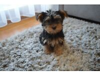 Beautiful yorkshire terrier girl