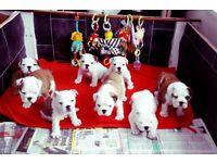 British Bulldog puppiee