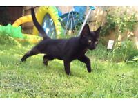 Missing Black Kitten Craven Way Bristol