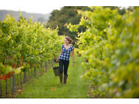 Vineyard work available, light manual duties, working in a small team from 25th July, pay £7 / hour.