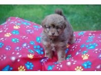 2 Pomapoo girl puppies- Ready to go