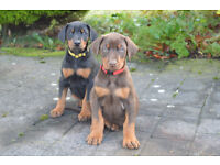 Pampers Male And Female Doberman Pinscher Puppies