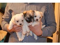 2 SHIH TZU X MALTESSE BITCHT PUPPIES
