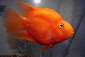 PARROT FISH CICHLID TROPICAL FISH
