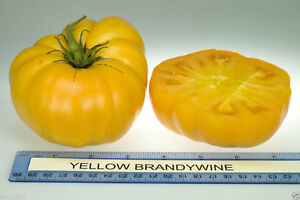 50 heirloom tomato seeds organic non gmo yellow brandywine