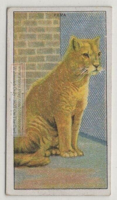 Puma Large Wild Feline Cat Felis concolor 90+ Y/O Trade Ad Card