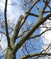 Tree removal, pruning and climbing services