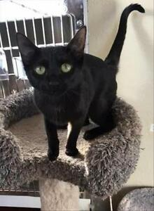 """Young Female Cat - Domestic Short Hair: """"Raven"""""""