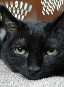 """Young Female Cat - Domestic Short Hair: """"Haylee"""""""
