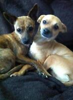 "Adult Male Dog - Chihuahua: ""Taco and Chico"""