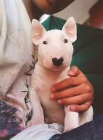 ISO bull terrier OR Sharpei puppy
