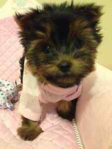 BABYDOLL TEACUP YORKIE ISABELLA GIRL FOR SALE