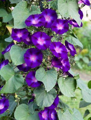 250 Samen Ipomoea purpurea Kniola Black kniolas Morning Glory Prunkwinde Saatgut - Morning Glory Ipomoea Purpurea