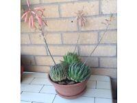 Aloe Aristata, succulent