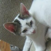 Lost 1 y.o white cat in local area. Beacon Hill Manly Area Preview