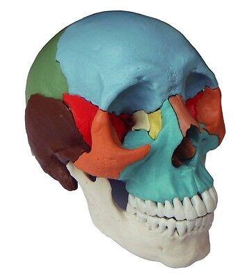 Osteopathie Steck Schädel Modell, 22-teilig, didaktisch, Anatomie Ausbildung
