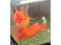 2 Large goldfish