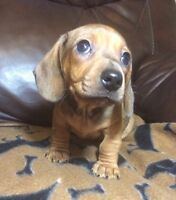 Miniature dachshunds puppies (Sold)