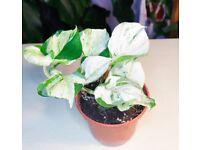 Happy Leaf Vine Plant