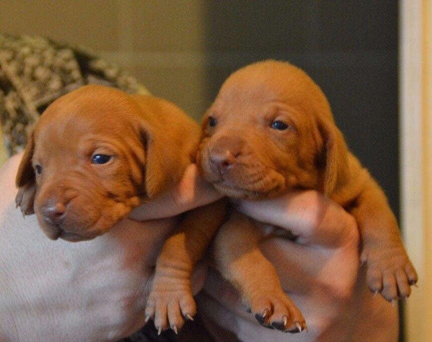 Hungarian Vizsla Puppies For Sale In Kentish Town London Gumtree