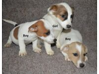 Jack Russell Pups looking for their new home.