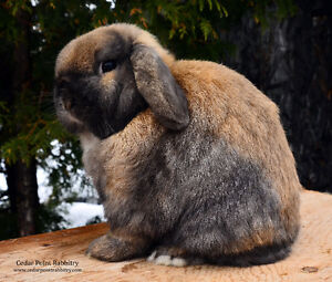 Registered Grand Champion Holland Lop Buck