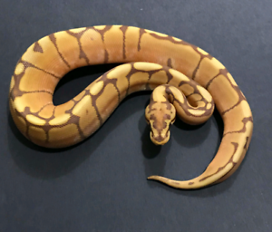 Special This Weekend Only!! Ultramel Ball Python.