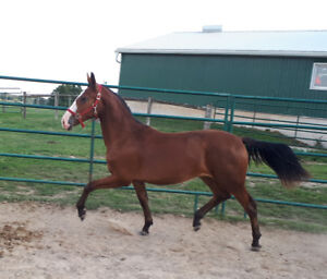 Dutch Harness / Cleveland Bay Mare Yearling