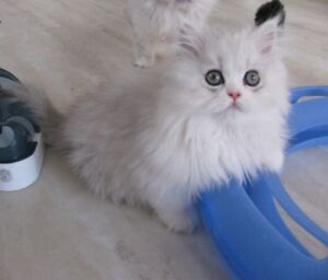 chaton silver shaded et blanc