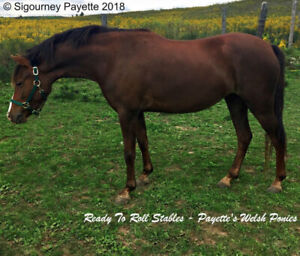 Registered Welsh/BRP Mare