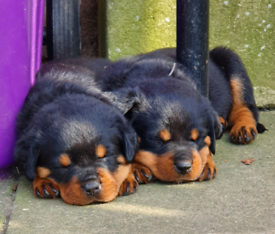 Rottweiler | Dogs & Puppies for Sale - Gumtree
