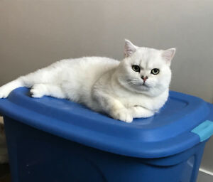 British shorthair Cat TICA registered