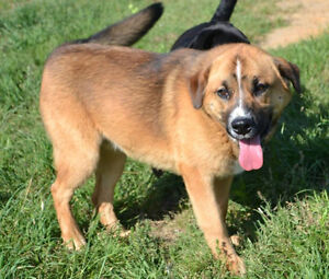 Maddox is a lovely 1 year old, male, shep mix.
