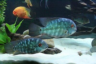 WHITE  FISH TANK AQUARIUM SAND DISCUS CICHLID'S PLECOSTOMUS SEVERUM'S 42 LB'S