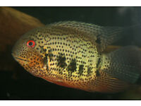 "2"" Heros Notatus - wild red spotted severums F1-fry"