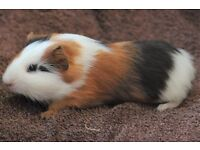 Baby male guinea pig - 11 weeks old