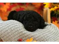 Miniature poodle puppies 2 x girls