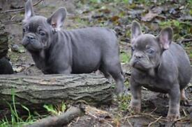 French Bulldog Blue/ Blue and tan