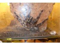 Fringed Ornamental Tarantula
