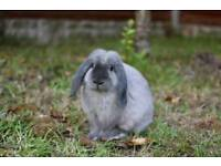 Male Lop Rabbit For Sale £25 (Open to offers)