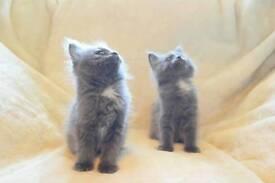 Cross Russian blue x Ragdoll kittens