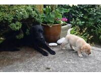 Pedigree Male Labrador Puppies From Home-Bred Litter (Black & Yellow)
