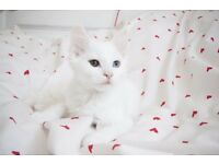 Turkish Angora Kittens for Sale, be quick last two!!!