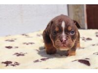 Olde tyme bulldogs puppies for sale