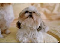 Adorable Imperial Shih Tzu puppies will soon be ready for their forever home