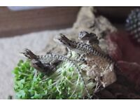 Bearded dragon babies for sale